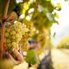 La vendemmia, come in questi anni sono cambiate le attività di raccolta dell'uva